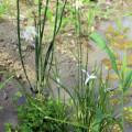 カヤツリの花芽
