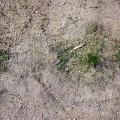 ヒメイワダレソウの植え付け時期