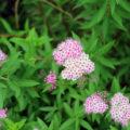 シモツケ開花
