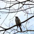 近所の野鳥