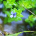 バコパの花