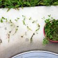 ヒメイワダレソウの挿し芽