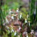 ユキノシタ開花