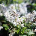 初夏の白花